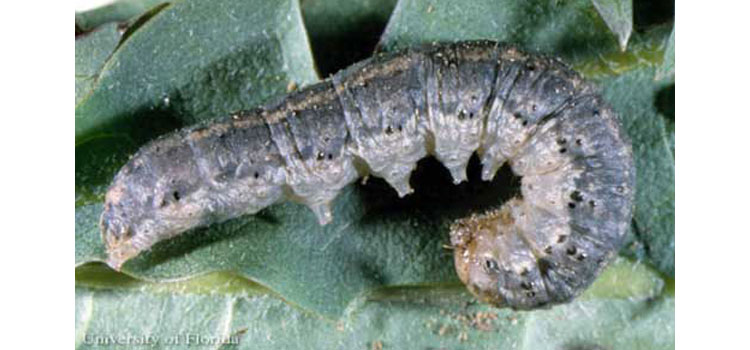 Lateral view of the larva of a black cutworm