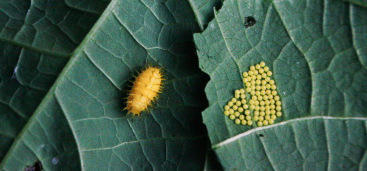 Mexican bean beetle larva and eggs