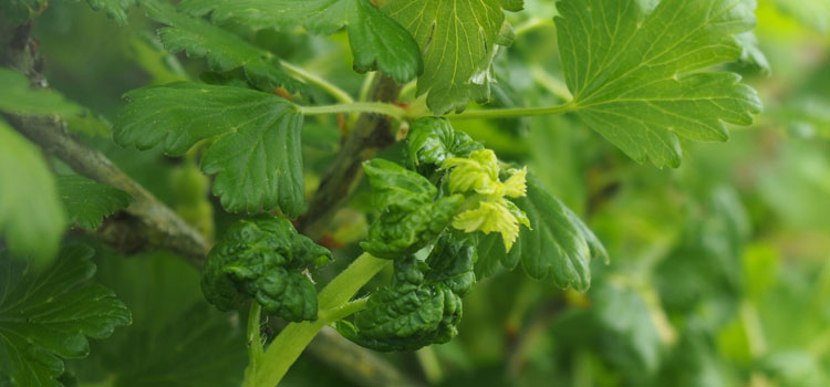 Aphid damage on a gooseberry bush
