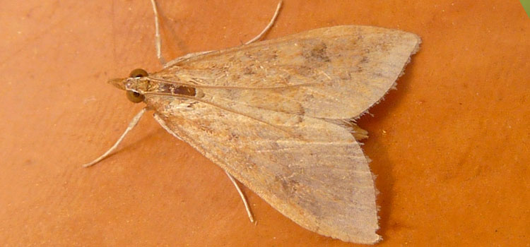 Corn borer moth