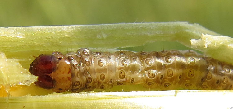 Corn borer damaging corn