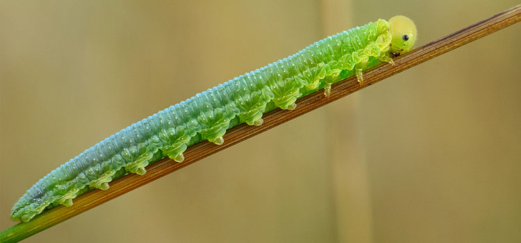 https://s3.eu-west-2.amazonaws.com/growinginteractive/bbh/pests/us/sawfly-Tenthredinidae-credit-aleksey_gnilenkov.jpg.jpg