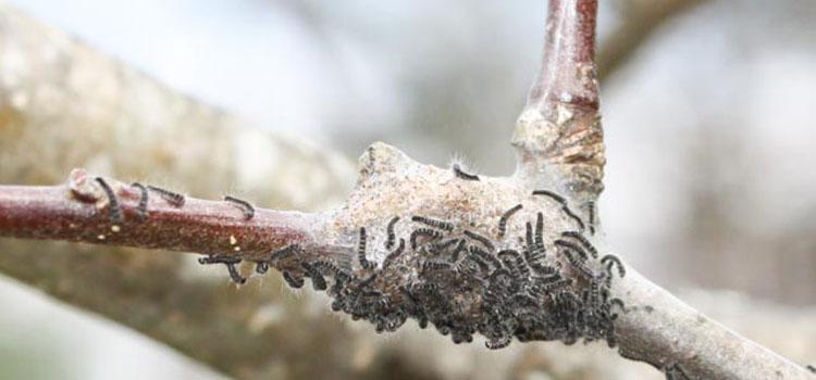 Tent caterpillars on an apple tree