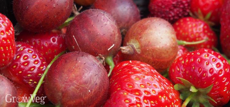"""""""Gooseberries"""