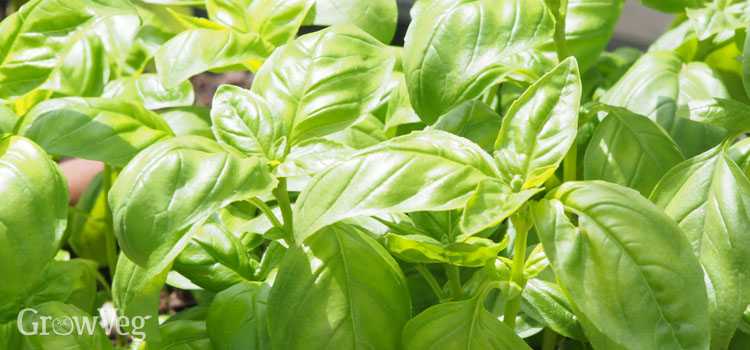 https://s3.eu-west-2.amazonaws.com/growinginteractive/blog/3-easy-leafy-herbs-basil-2x.jpg
