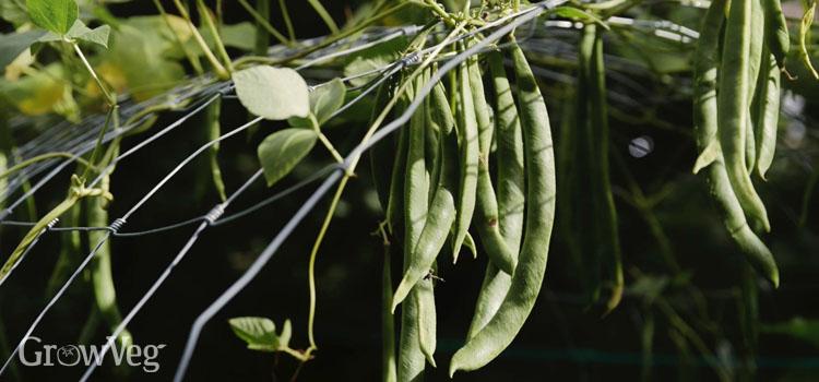"""""""Beans"""