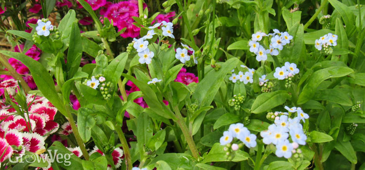 Forget-me-nots and dianthus