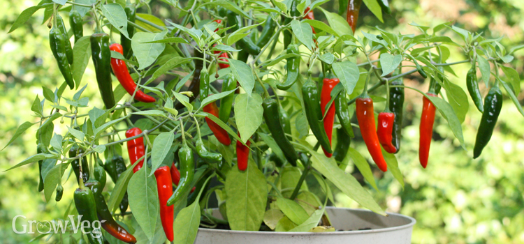 Prune container-grown peppers to a manageable size before bringing them indoors