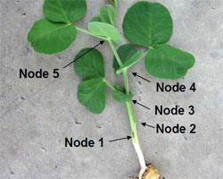 Pea nodes. Image with permission of Cornell University