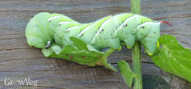 A mature tobacco hornworm, fattened on tomato foliage and ready to pupate