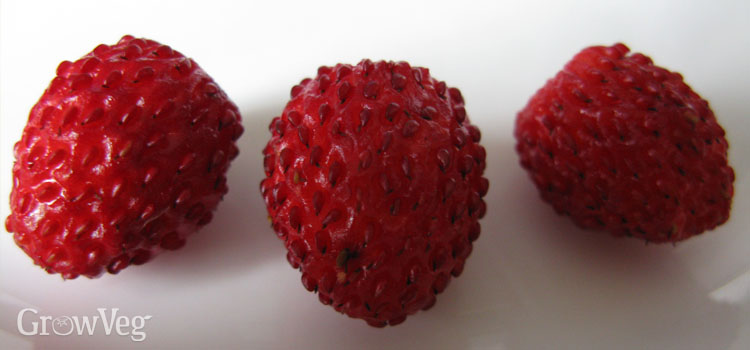 Trio of alpine strawberries