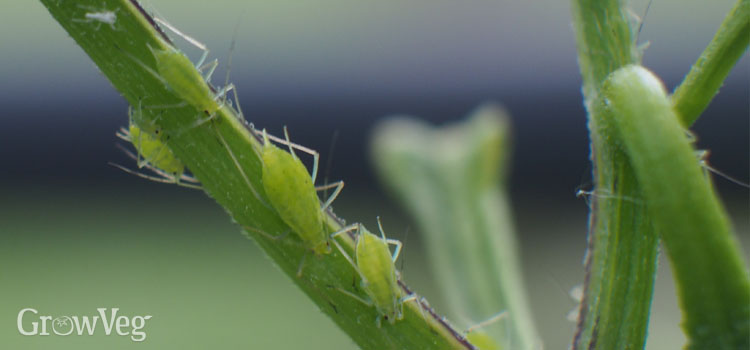 Aphids on a chilli plant