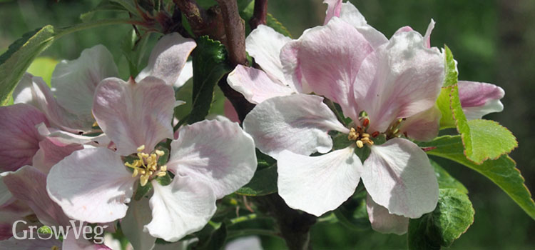 https://s3.eu-west-2.amazonaws.com/growinginteractive/blog/apple-blossom-2.jpg