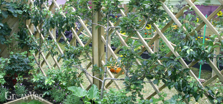Espalier trained apples need less space to grow