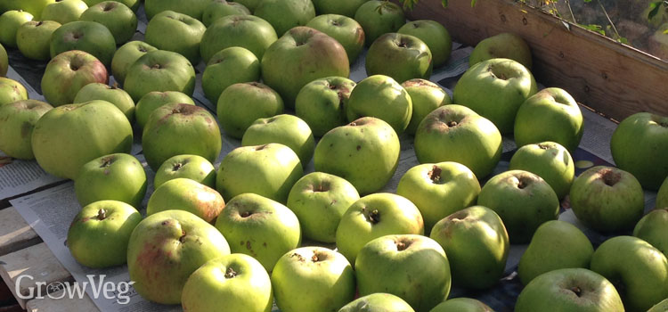 Harvested apples ready for storing