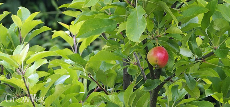 Apple tree with a single fruit