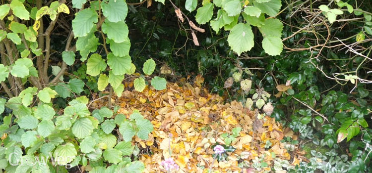 Fallen leaves under a hedge as overwintering insect habitat