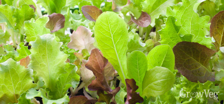 https://s3.eu-west-2.amazonaws.com/growinginteractive/blog/baby-lettuce-leaves-2x.jpg