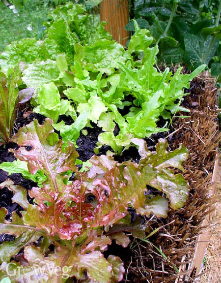 Lettuce in a straw bale bed