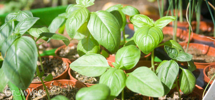 Growing basil for Italian cooking