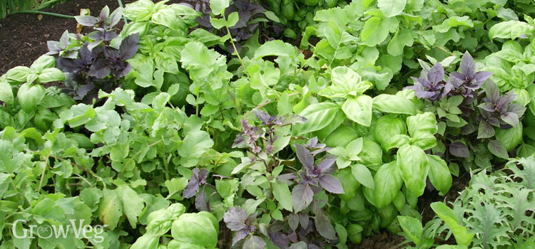Basil and other leaves