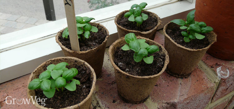 Basil seedlings on a windowsill