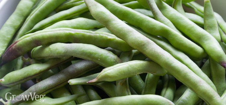 A good crop of beans!