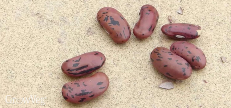 Scarifying beans and other large seeds improves germination