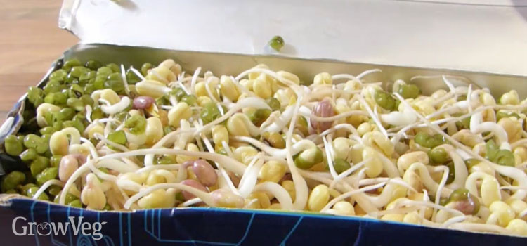 Ready-to-eat mung bean sprouts