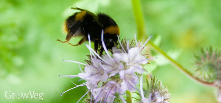https://s3.eu-west-2.amazonaws.com/growinginteractive/blog/bee-phacelia-2x.jpg