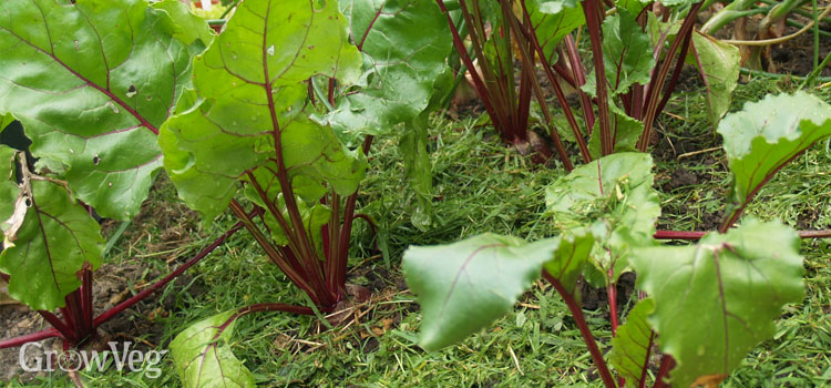 Beetroot with a grass clipping mulch to minimize moisture loss