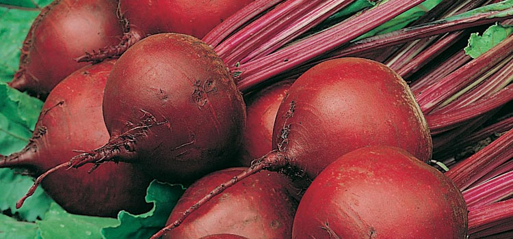 Beetroot 'Red Ace'
