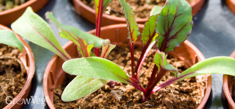 Beetroot seedlings in a pot