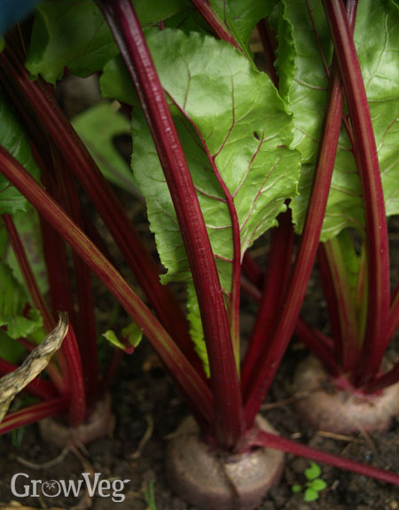 Fast-growing beets for salads