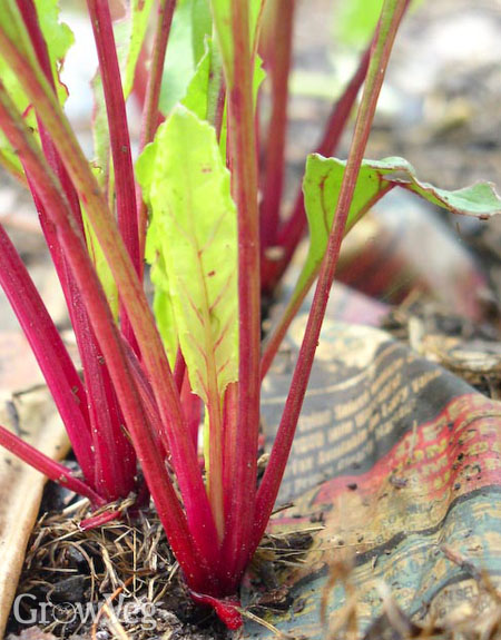 Beetroots growing through newspaper mulch