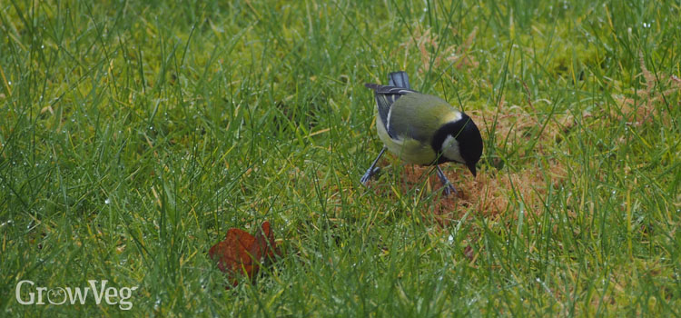 Bird foraging in grass below fruit trees
