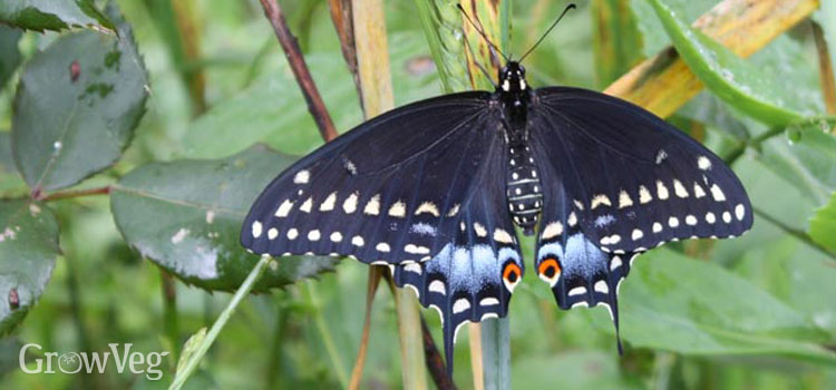 https://s3.eu-west-2.amazonaws.com/growinginteractive/blog/black-swallowtail-2x.jpg