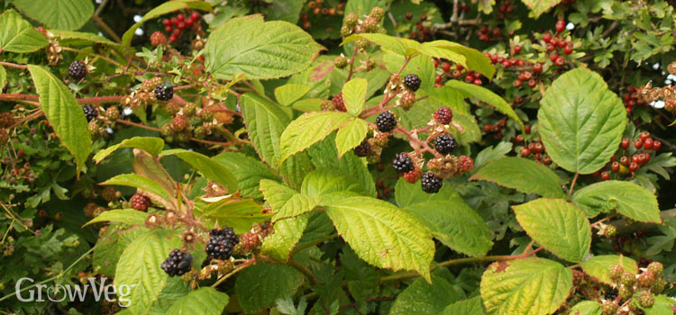 Blackberries growing through a hawthorn hedge