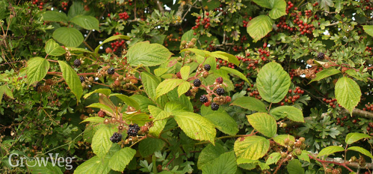 https://s3.eu-west-2.amazonaws.com/growinginteractive/blog/blackberries-hawthorn.jpg
