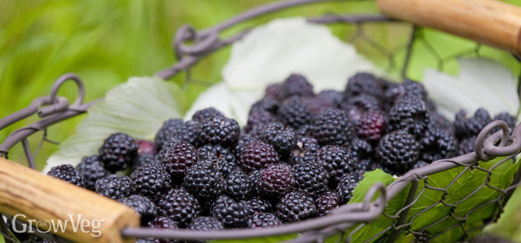 https://s3.eu-west-2.amazonaws.com/growinginteractive/blog/blackberries-in-basket-2x.jpg