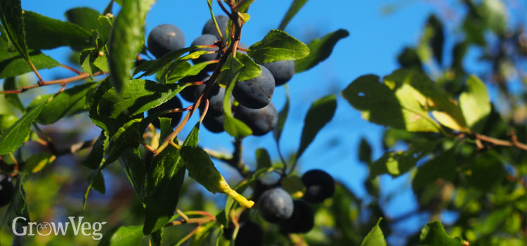 https://s3.eu-west-2.amazonaws.com/growinginteractive/blog/blackthorn-with-sloes-2x.jpg