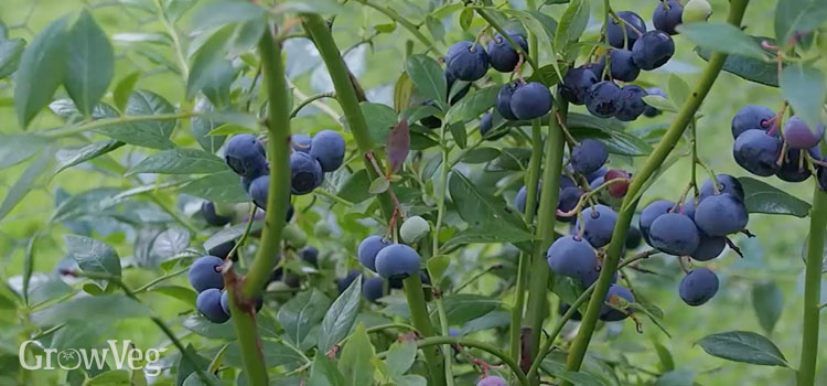 https://s3.eu-west-2.amazonaws.com/growinginteractive/blog/blueberries-planting-to-harvest-ripe-2x.jpg