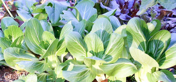 https://s3.eu-west-2.amazonaws.com/growinginteractive/blog/bok-choy-2x.jpg