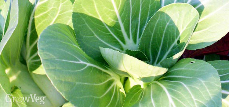 Bok choy, also known as pak choi or pac choi