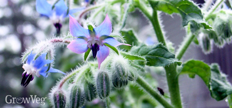 https://s3.eu-west-2.amazonaws.com/growinginteractive/blog/borage-flowers-2x.jpg
