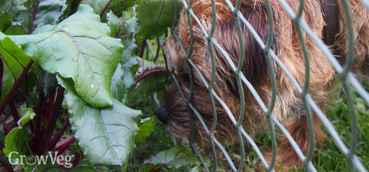 A vegetable garden fence helps to keep dogs out