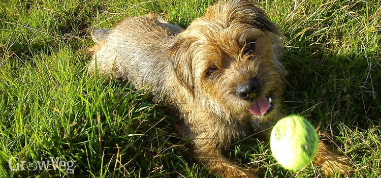 Border terrier playing with a ball in the garden