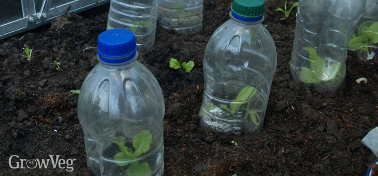 Seedlings protected by plastic bottle cloches