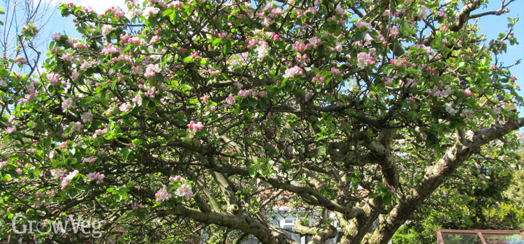 A well-maintained Bramley apple tree covered in blossom