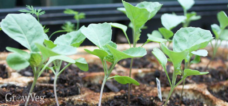 https://s3.eu-west-2.amazonaws.com/growinginteractive/blog/brassica-seedlings-2x.jpg